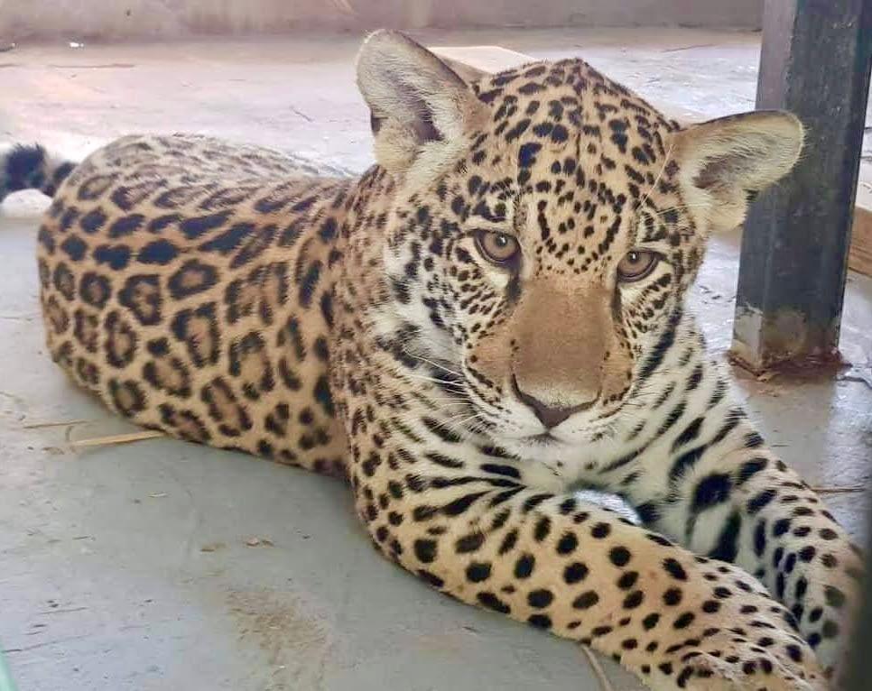 Parrot World accueille son deuxième jaguar